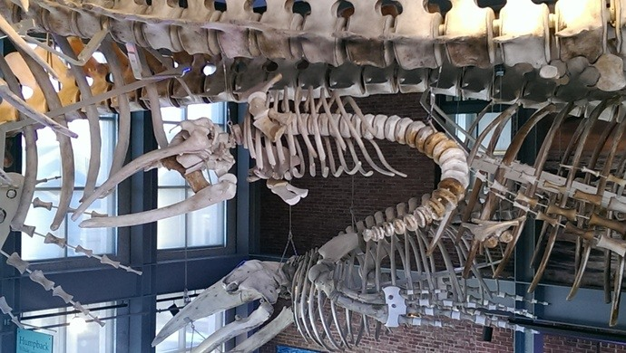 The Oozing Whale Skeleton of New Bedford
