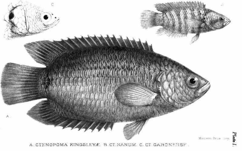 Fish species discovered by and named after Kingsley, with Ctenopoma Kingsleyae in the middle  (Image: Courtesy of The Victorian Web)