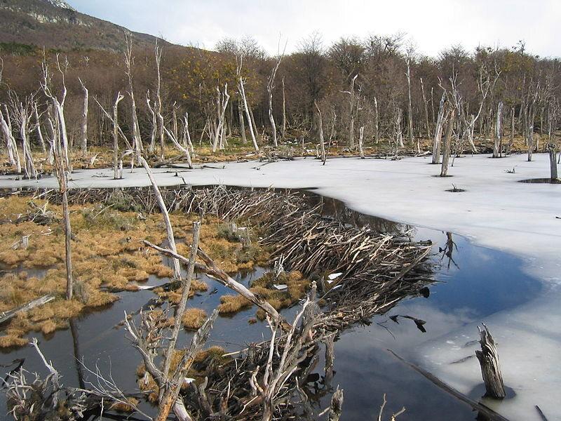 Beaver dam in Tierre Del Fuego