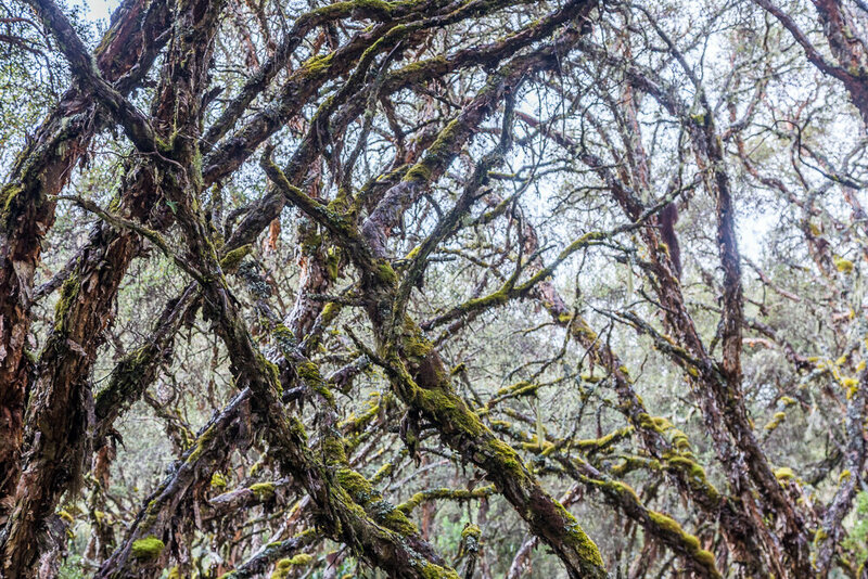 Polylepis tree limbs intertwine overhead in the forest around Polylepis Lodge in Ecuador.