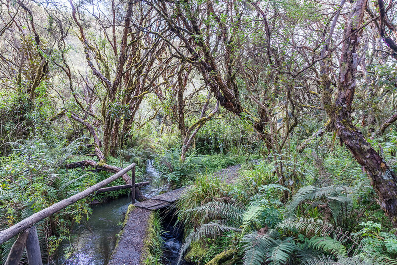 Paths and small bridges lead visitors through one of the rarest stands of Polylepis trees on earth at Polylepis Lodge in Ecuador.