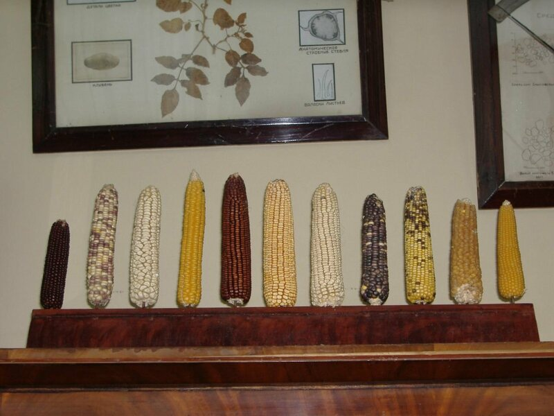 Maize diversity on display in Vavilov's office, itself preserved by VIR.
