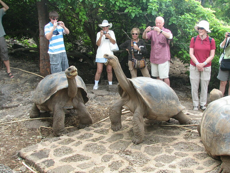 Galapagos tortoises, relatively unconcerned by Galapagos tourists.