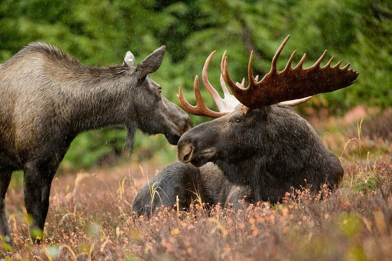A pair of moose who made it to adulthood.