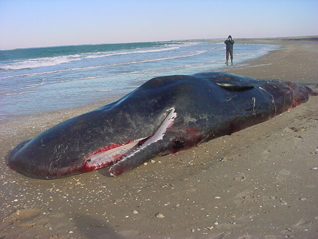 Sperm whale, shortly after it was found on the beach