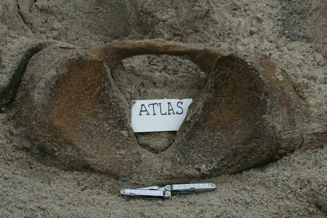 Sperm whale atlas bone, after being buried for 3 years.