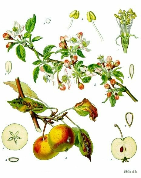 Illustration of parts of an apple tree