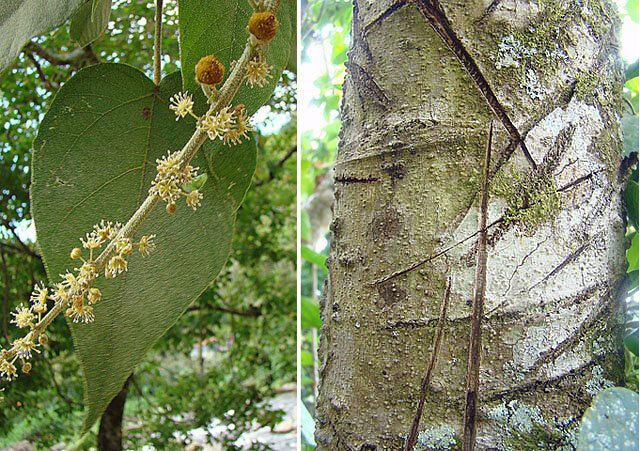 Croton drago (or lechleri), the Dragon's Blood tree