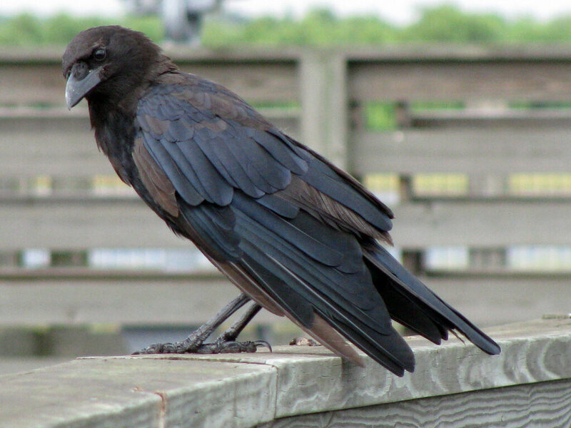 Crows Are Smart But Are They Smart Enough To Fall In Love Atlas