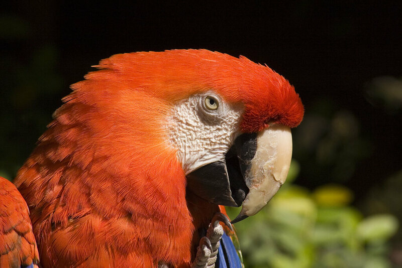 The Surprising Truth About Pirates and Parrots - Atlas Obscura
