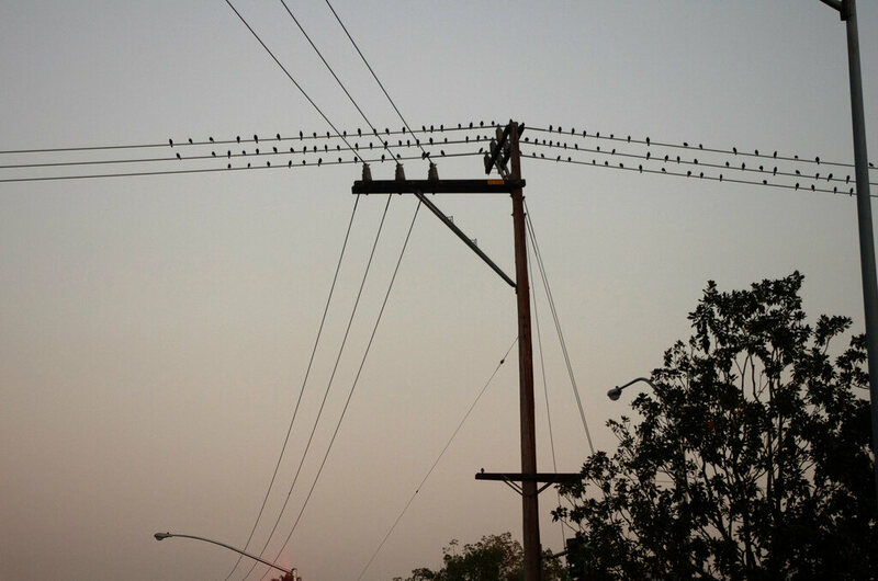 Starlings on a telegraph pole