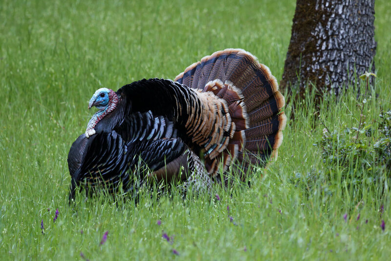 A Wild Male Turkey's mating dance.