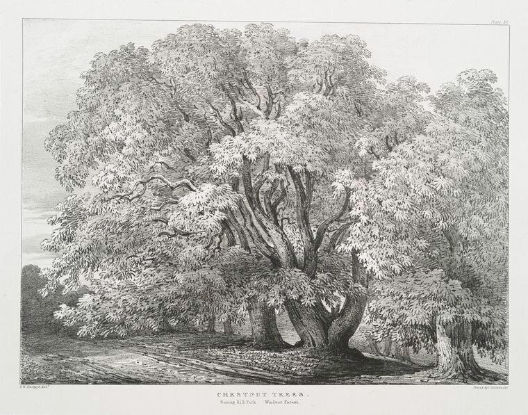 """Chestnut trees, Suning Hill Park, Windsor Forest."