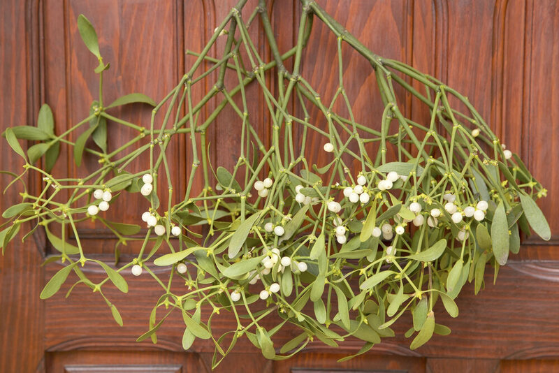 Mistletoe Is A Parasitic Explosive Plant That Maybe You Shouldn T