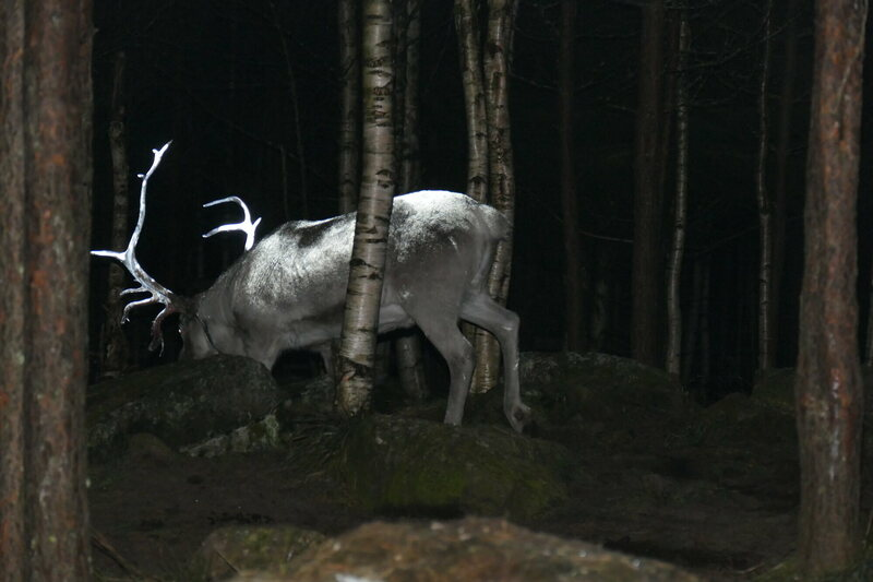 A Finnish reindeer browses reflectively.