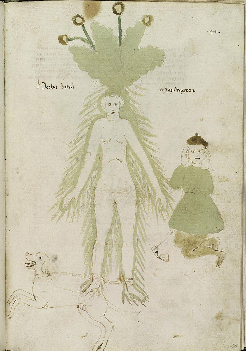 The History and Uses of the Magical Mandrake, According to
