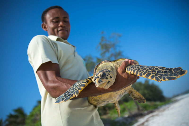 A member of the Watamu Local Ocean Trust releases a Hawksbill turtle back into the ocean.