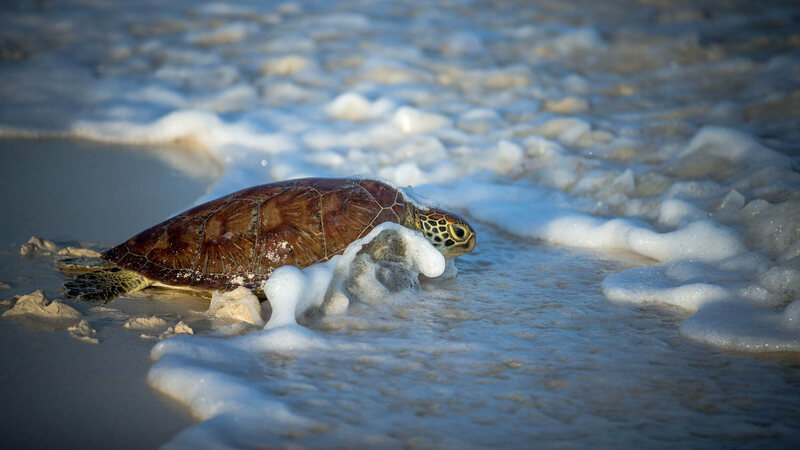 A Hawksbill turtle makes its way back into the ocean in Watamu, Kenya.