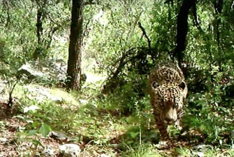 El Jefe, America's last known jaguar, investigates the weird new gadget in his mountain home.