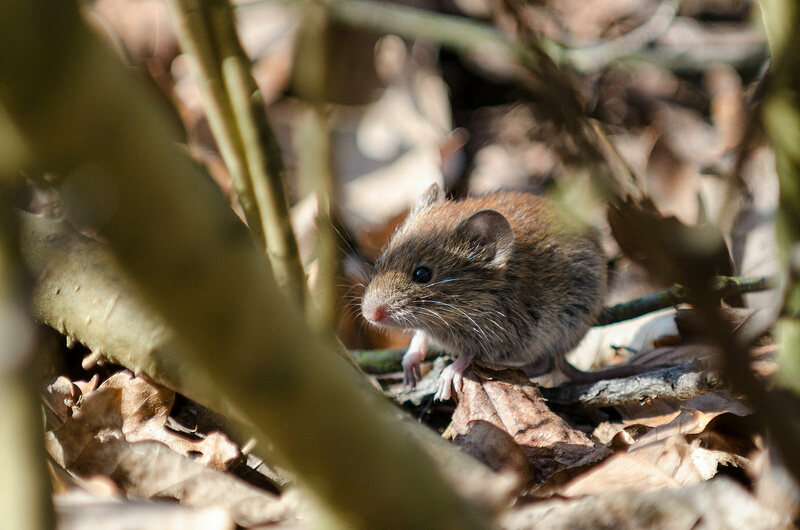 A sighted bank vole, free from radiation.