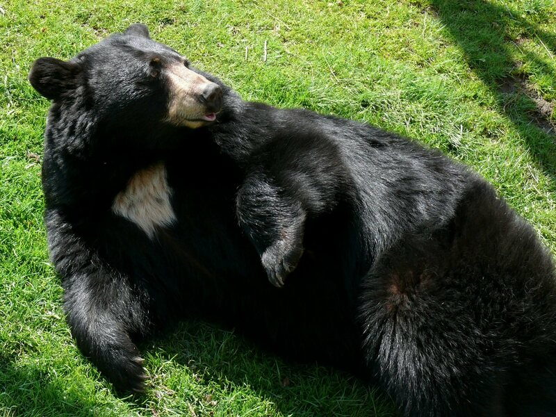 A black bear rolls around in his favorite food, spring grass.