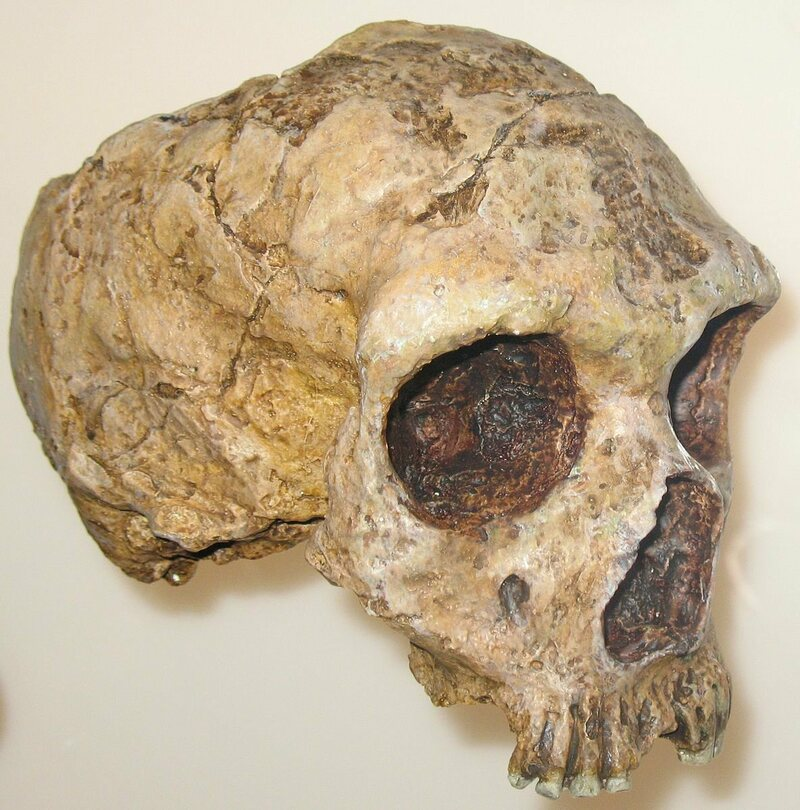 A Neanderthal skull, currently housed at the American Museum of Natural History. (Photo: Angoria/