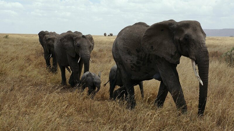 Elephants trekking across Serengeti National Park.