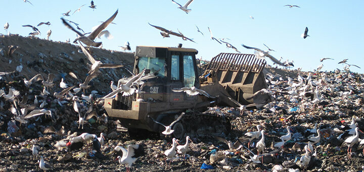 Rather Than Migrate Storks Now Just Eat Trash Atlas Obscura