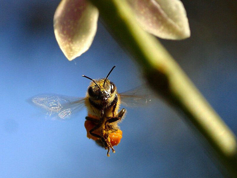 A honeybee, en route to his (potentially smart) hive.