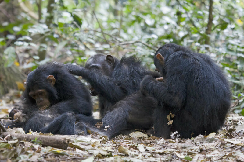Chimpan-hes and chimpan-shes in Gombe.