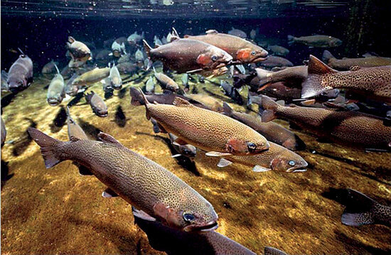 Salmon spawning near a former reactor site at Washington's Hanford nuclear reservation.