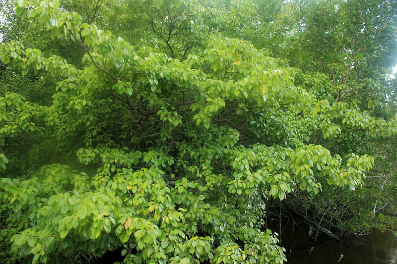 Do Not Eat, Touch, Or Even Inhale the Air Around the Manchineel Tree