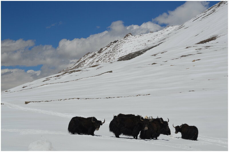 Yaks graze near a snow barrier band at Warila Pass. Snow caught behind the stone walls won't blow away as easily.