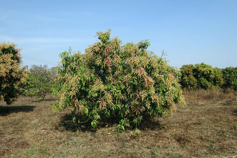 An Indian mango tree