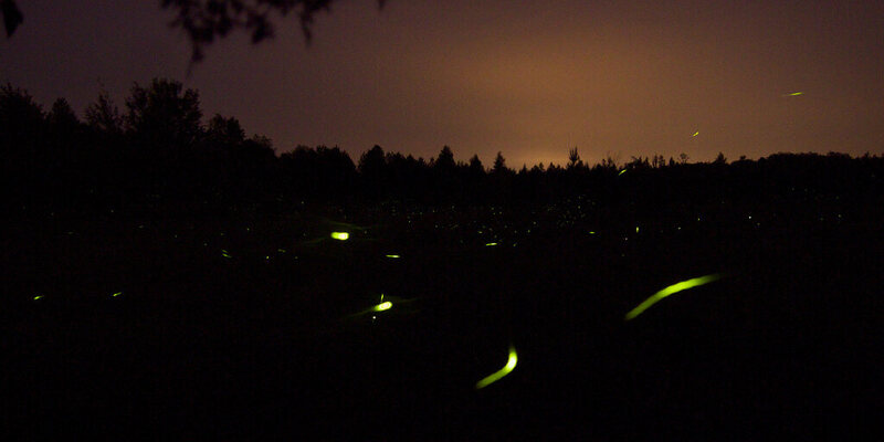 Fireflies in full force, out in a field.
