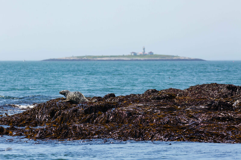 Seal in front, Machias Seal Island and lighthouse in back