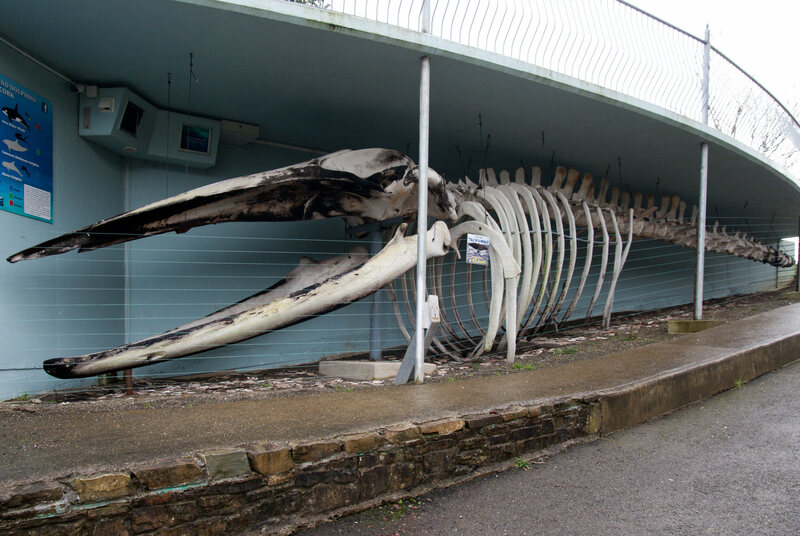 Skeleton of the whale
