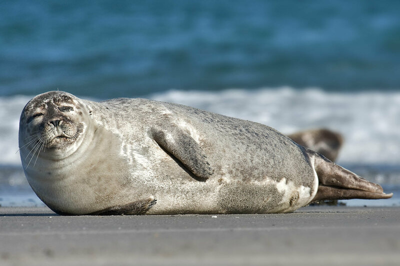 A harbor seal looking pleased with himself.