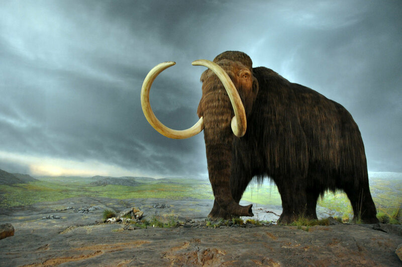 A reconstructed mammoth from the Museum of British Columbia.