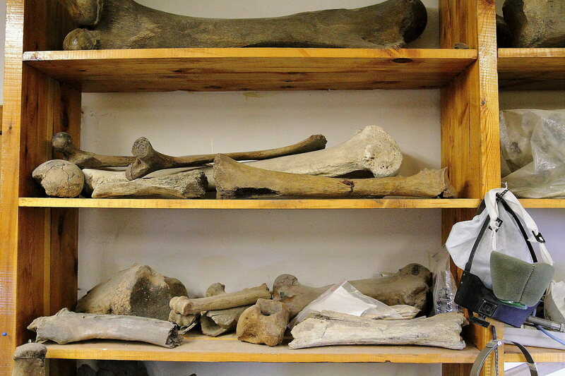 Mammoth bones in the lab at Tomsk State University.