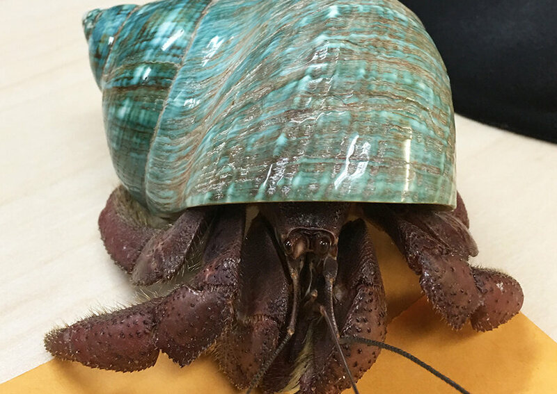 The 40-Year-Old Hermit Crab - Atlas Obscura