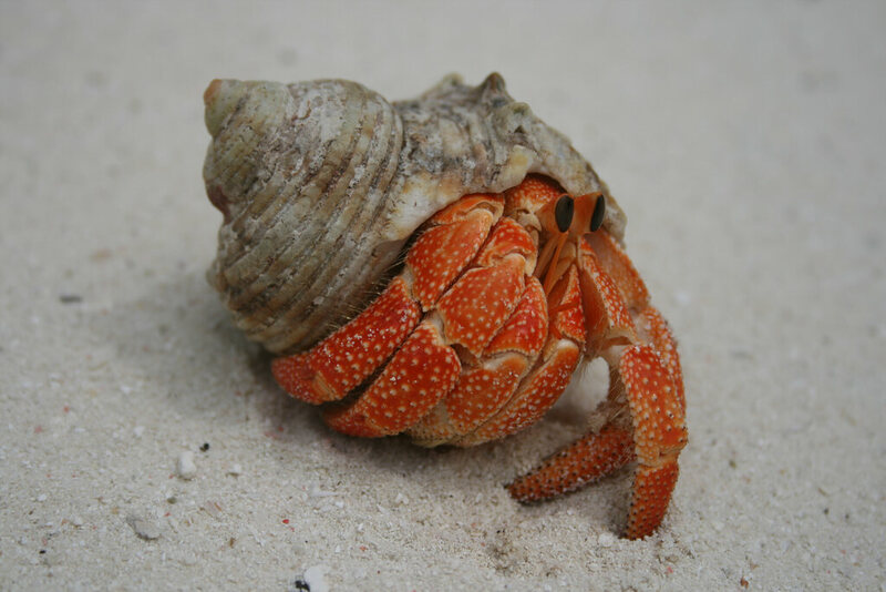 A Close Up Of Hermit Crab On Sand Photo Dan Meineck Cc By Nd 2 0