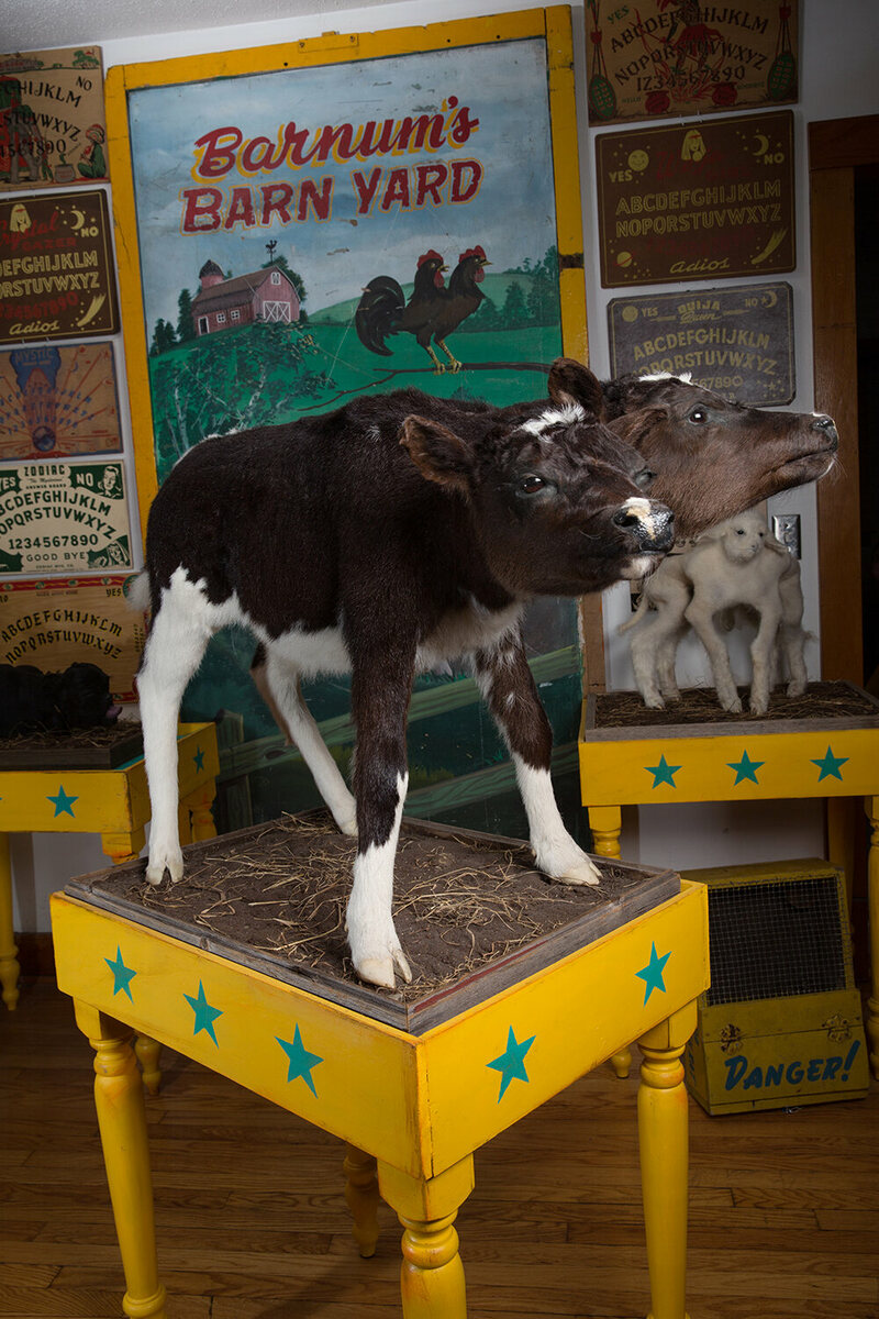 A taxidermied two-headed cow from the collection of Calvin von Crush.