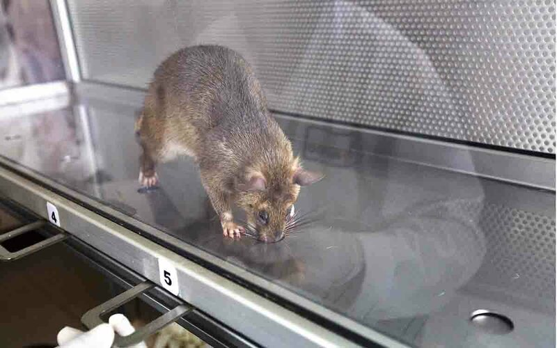 The HeroRATS are also trained to detect tuberculosis using smell.