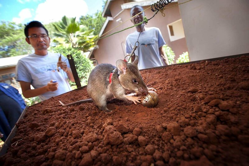 A HeroRAT is trained for the smell of TNT, which is hidden inside tea-eggs.