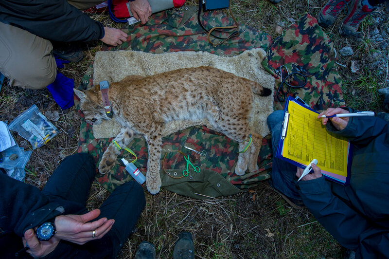 Biologists work quickly to collar, measure, and take tissue samples from an anaesthetized adult Eurasian lynx in the Swiss Alps.