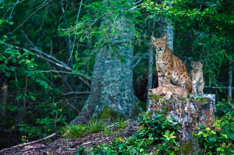 "A female Eurasian lynx, known to biologists as ""B123,"" surveys her territory with her two cubs in Switzerland's Jura Mountains."