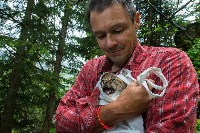 Even lynx cubs must be handled with great care. KORA biologist Andreas Ryser swaddles this three-week-old youngster in preparation for weighing, measuring, and releasing the cub back into its den.
