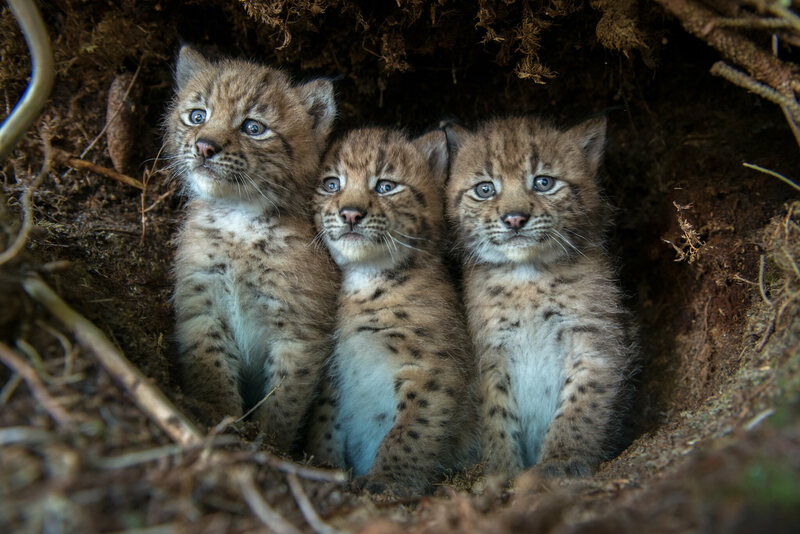Three bewildered Eurasian lynx cubs peer out from their den after being discovered by KORA conservation biologists.