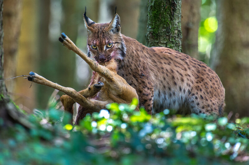 A wary, and bloody, adult Eurasian lynx drags a fresh kill to a more secluded location.